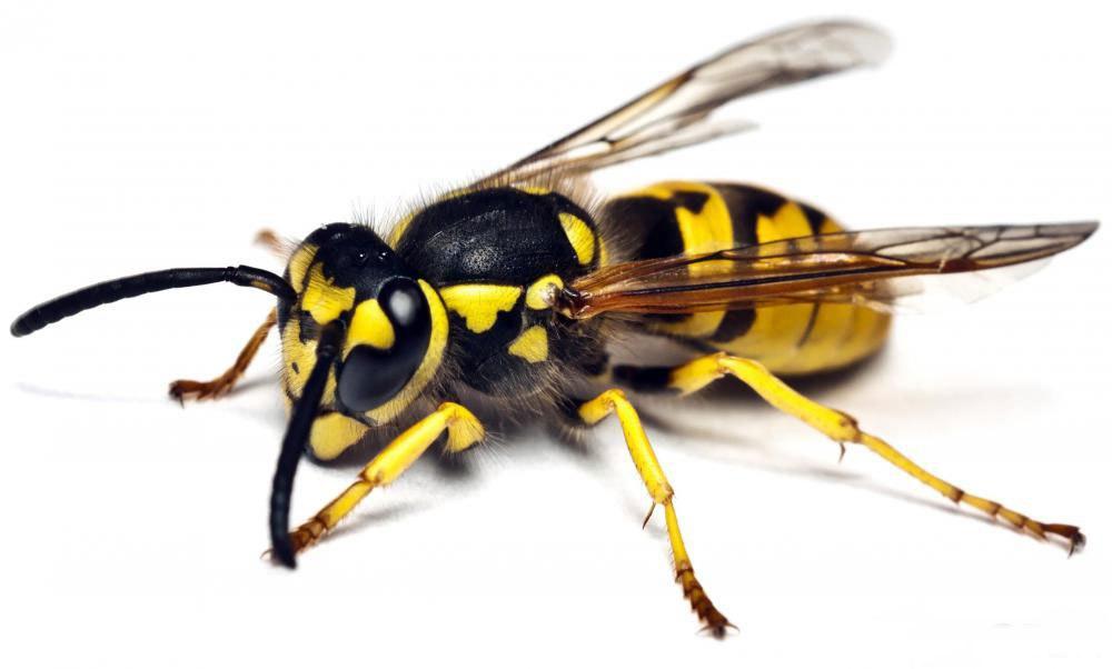 укус осы вызывает аллергиюКак лечить укус осы в домашних условиях