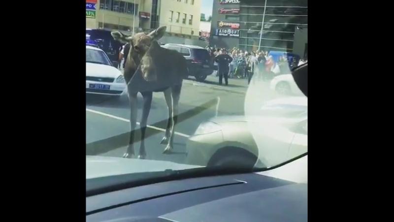 Лось на окраине Москвы. Сентябрь 2017