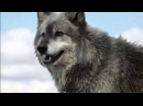 Александр Добронравов Одинокая волчица