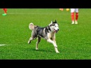 Futbolda Sahaya Giren Komik Hayvanlar 2017 HD