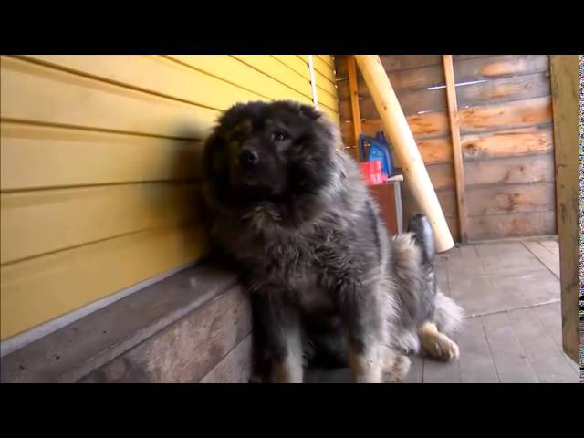 Кавказская овчарка выполняет команду мишки 2015