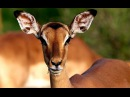 Импала или чернопятая антилопа на водопое Нкорно Nkorho Балерины на копытцах Африка