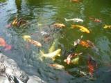 Рыбки в пруду Сада орхидей. Пуэрто де ла Крус