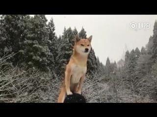 Маленький пёс сиба-ину