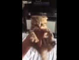 «Маленький котенок стащил у своих хозяев говядину со стола и на отрез отказывался ее отдавать.