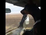 Собака реагирует на гаишников