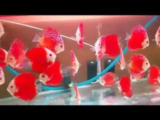 Red Passion discus ....Индия .