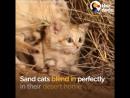 Барханного кот в его естественной среде обитания