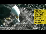 HIGHLIGHTS OF CUTE BABY EAGLETS FROM D.C.S EAGLE CAM