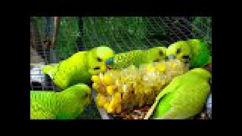 Веселые, неугомонные волнистые попугайчики Чириканье попугаев Parrot tweets