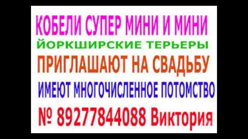 продажа йоркширского терьера и стрижка собак и кошек у вас дома в Тольятти
