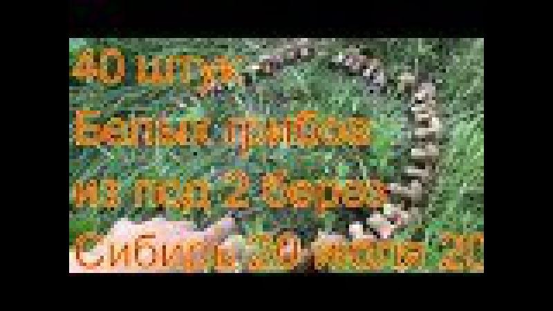 Белые грибы Из под 2 берез 42 белых грибов Поход в лес ищем грибы по запаху сбор гр...