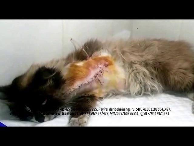 Обреченная на гибель кошка чудом выжила после травмы Ей оторвали лапу Волонтеры ее спасли