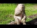 She always sad, Pigtail Monkey Eating Corn