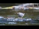 American dipper / Американская оляпка / Cinclus mexicanus