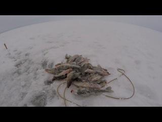 Ловля Берша зимой на Волге
