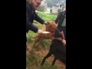Big pitbull (mix) VS nagi bully kutta