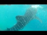 Китовая акула 1