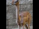 Геренук. Самые необычные животные в мире. Интернет-портал для владельцев домашних животных zoostores