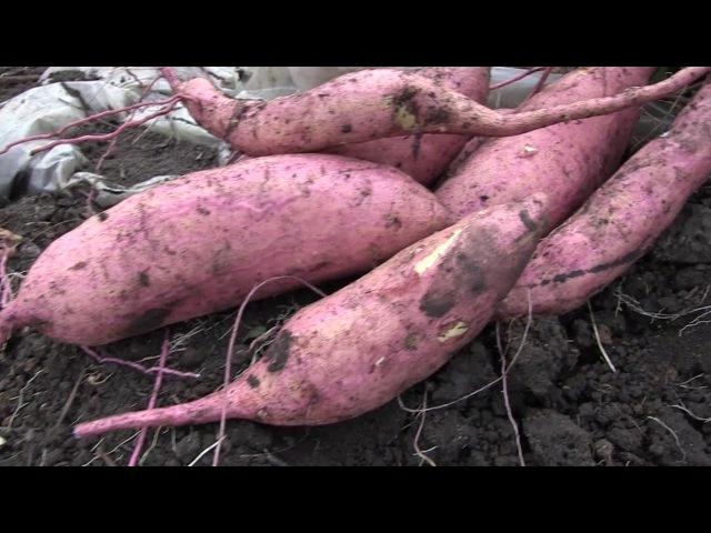 Как посадить нарциссы и тюльпаны Агротехника выращивания батата