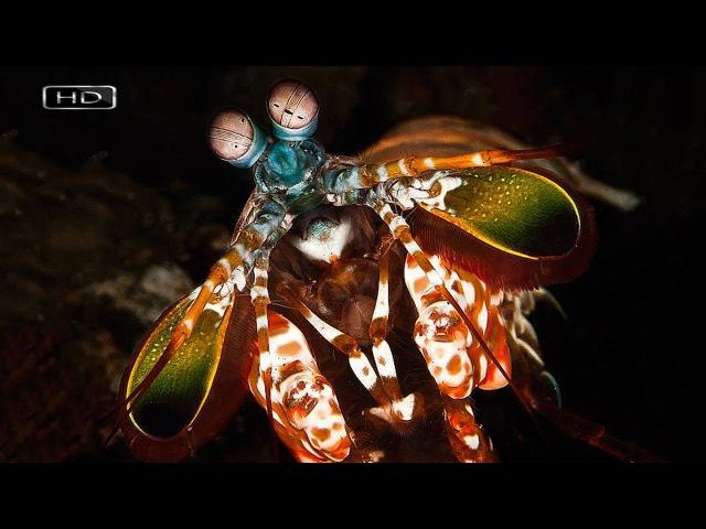 Самая неадекватная, злобная и отмороженная креветка - Рак-богомол