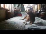 Fat Abyssinian cat exercising