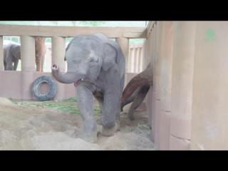 Невероятно трогательные кадры: стадо слонов бежит знакомиться с двухгодовалым слоненком