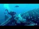 Дайвер срезает веревку с китовой акулы