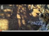 Тигрица Сабрина в Лазовском заповеднике