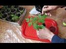 Выращивание рассады помидоров - мой простой способ 3 часть