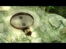 Raccoon in sewer/ Енот в люке