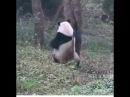 Панда танцует стриптиз
