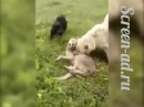 В Кабардино-Балкарии алабай спас стадо овец от волка