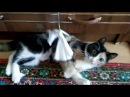 Кошка Ася играет с бантиком