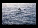 Дельфин с рыбкой играет Крым Орджоникидзе Катран