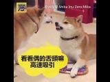 What a painful understanding but still smilingt(Dog bite dog tongue) ,