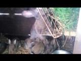 кролки