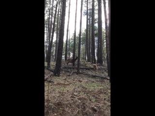 Олениха отбивает малыша от медвежонка
