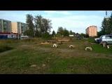 Стая собак на Бакинском проспекте Иваново