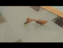 Sphodromantis lineola VS Nauphoeta cinerea.