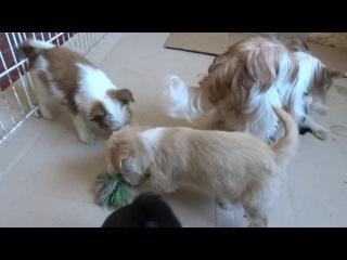 Барби и щенки тибетского терьера