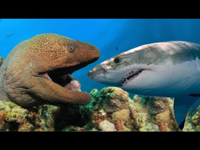 Shark vs Moray Eel Real Fight | Ikan Hiu vs Belut Moray | Perkelahian Binatang Laut