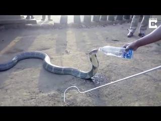 В Индии страдающую от жажды кобру напоили водой из бутылки