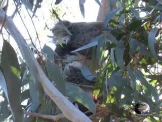Мир Приключений - Коала в дикой природе Австралии. Koala. Australia
