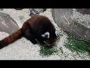 Красная панда, ЭКзоопарк ТРК «Рио»