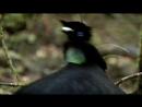 BBC Natural World 2010 - Birds of Paradise (HDTV x264)