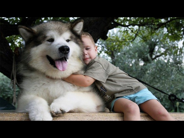 Adorable Alaskan Malamute playing with kids | Dog Loves Baby Compilation