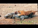 BİG BATTLE : Tiger vs Crocodile ►► Real Fight to Death - Lion, Wolf Jaguar Leopard Bear Shark Eagle