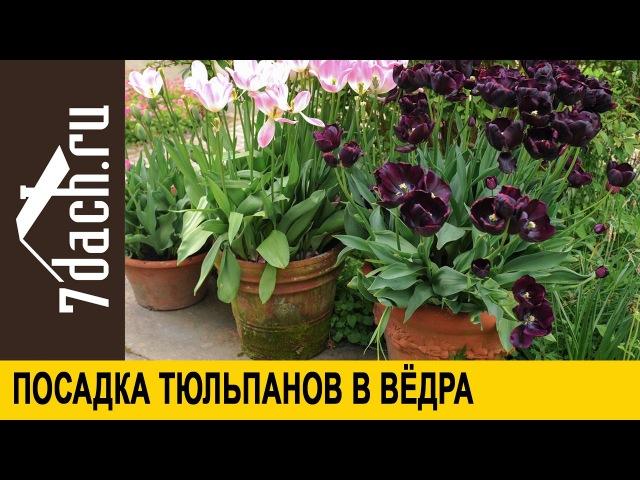 Посадка тюльпанов в ведра - 7 дач