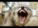 Людоеды Волки и койоты Безпощадные убийства Animal Planet